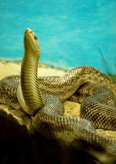#Florida #Florida Pine Snake