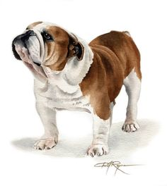 The major breeds of bulldogs are English bulldog, American bulldog, and French bulldog. The bulldog has a broad shoulder which matches with the head. Bulldog Breeds, Bulldog Puppies, Funny Puppies, Dog Paintings, Watercolor Paintings, Watercolor Paper, Painting Art, Art And Illustration, Illustrations