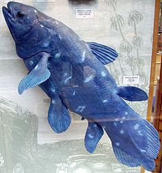 The blue fish, Coelacanth