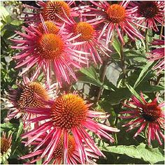echinacea - 'picabella' - zone 4-8 - very heavy bloomer, produces 'tons of watermelon pink flowers with quilled petals & a giant coppery orange cone'.