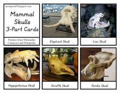 In Our Pond: Mammal Skulls 3-part Cards