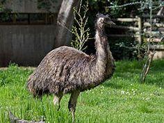El emú común (Dromaius novaehollandiae) es una especie de ave estrutioniforme de la familia Dromaiidae.2 Es un ave no voladora, y es, después del avestruz, la segunda en tamaño. Es nativa de Australia y el único miembro viviente del género Dromaius. Antes se la clasificaba dentro de la familia Casuariidae,3 pero ahora se la considera miembro de una familia independiente Dromaiidae.