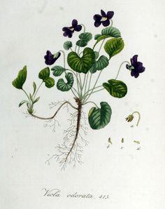 VIOLET: Viola odorata and related species — Cambridge Naturals