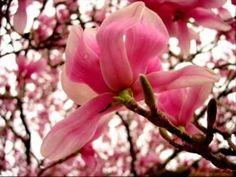 ΕΨΑΧΝΑ ΧΡΟΝΙΑ ΝΑ ΣΕ ΒΡΩ Practical Magic, Trees To Plant, The Great Outdoors, Flower Power, Magnolia, Outdoor Gardens, Rose, Plants, Conservatory