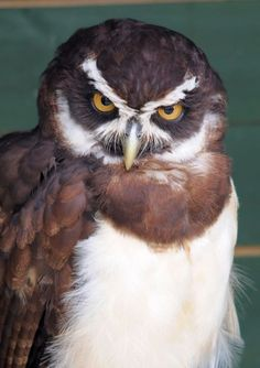 Spectacled owl | Spectacled Owl - Pulsatrix perspicillata