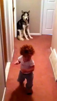 AULAS EM VIDEOS DE ADESTRAMENTO DE CÃES QUE VÃO TE AJUDAR MUITO GRÁTIS #adestramentodecaes #cachorros #cachorrofeliz #cachorrodecasa Funny Babies, Funny Dogs, Cute Babies, Funny Husky, Husky Meme, Babies Pics, Husky Dog, Siberian Husky Funny, Funny Baby Memes