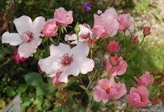 'Dainty Bess' Rose http://floralinnea.se/rosor/dainty-bess.html
