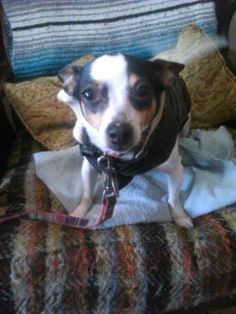 CHESNUT ST NEAR BRIDGE, NEW BRITAN, CT  CHIHUAHUA  LOST: 3/19/2016  AGE: 2 YEARS, 7 MONTHS  PRIMARY COLOR: WHITE  SECONDARY COLOR: BLACK/TAN  SEX: M  WEIGHT: 10  MICROCHIP #: 985112003791417