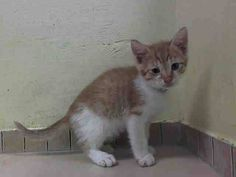 TO BE DESTROYED 6/30/14 ** BABY ALERT!! ONLY 10 WEEKS OLD! Sundae interacts with the observer, appreciates attention, is easy to handle and tolerates all petting. Male Came with litter mates A1004463 and A1004464 ** Brooklyn Center  My name is SUNDAE. My Animal ID # is A1004462. I am a male org tabby and white domestic sh mix. The shelter thinks I am about 10 WEEKS old.  I came in the shelter as a STRAY on 06/24/2014 from NY 11236. I came in with Group/Litter #K14-183326.
