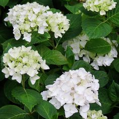 We have many hydrangeas in our Test Garden, but Endless Summer 'Blushing Bride' is one of the most elegant. The pure white semi-double flowers will mature to a soft pink.