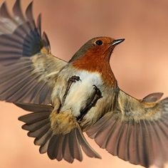 European Robin (Erithacus rubecula) Upside down Robin by Austin Thomas on Robin Bird Tattoos, Robin Tattoo, Mum Tattoo, Red Robin, Robin Day, Small Birds, Little Birds, Robin Photos, European Robin