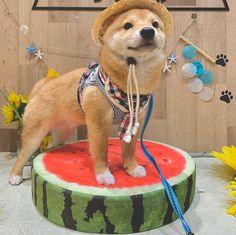 Shiba Inu, Akita, Funny Dogs, Cute Animals, Relationship, Tools, Pretty Animals, Cutest Animals, Cute Funny Animals
