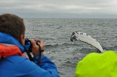 #Alaska #Whale Pectoral Slapping