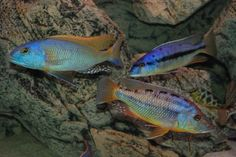 Over members talking cichlids Tropical Aquarium, Tropical Fish, Aquarium Fish, Malawi Cichlids, African Cichlids, Fish Ponds, Water Life, Beautiful Horses, Fish Tank