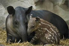 Baird's Tapir are an endangered species in the rainforest. They are threatened primarily by habitat destruction, and localized hunting.