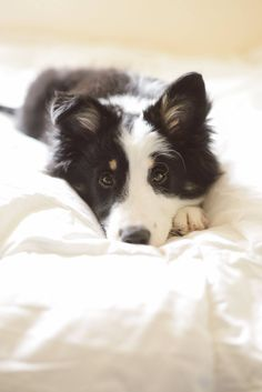 Border Collie #bordercollie #cachorro #perritos