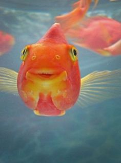 pretty goldfish looks happy