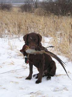 Chocolate Labrador Retriever | Beschrievung Chocolate Labrador Retriever pheasant.jpg