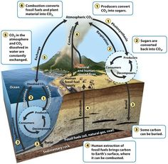 The carbon cycle. Producers take up carbon from the atmosphere and water via photosynthesis and pass it on to consumers and decomposers. Some inorganic carbon sediments out of the water to form sedimentary rock while some organic carbon may be buried and become fossil fuels. Respiration by organisms returns carbon back to the atmosphere and water. Combustion on fossil fuels and other organic matter returns carbon back to the atmosphere.