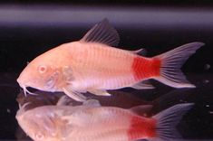 IMAGE OF RED TAILED COREY CATFISH! Awesome to have in your tanks =   http://www.javedfisheries.com/fish_gallery/catfish/redtailcory.jpg