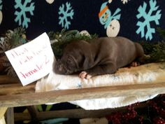 Hoots Catahoulas puppies for sale see our Facebook page for more information