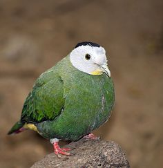 Black-naped Fruit Dove (Ptilinopus melanospilus) - photo by Peter van Zoest;  It is also known as the Black-headed Fruit Dove.  It is a medium-sized bird (up to 9.5 inches long) with yellowish bill and iris. The male has a pale grey head with black nape, yellow throat, and golden yellow and pink undertail coverts. It is found in Indonesia, Malaysia, and the Philippines.