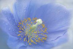 The Himalayan Blue Poppy by Jacky Parker on 500px