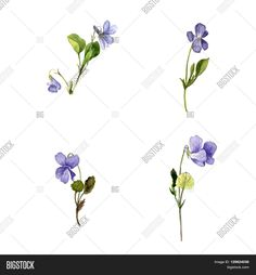 Image result for wild violet sketch
