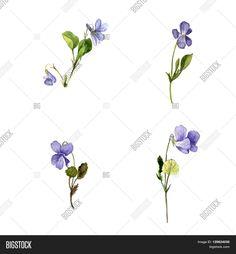 wild violet sketch - Google Search