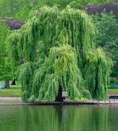 Salix alba  Tristis - Golden Willow 3 x cuttings