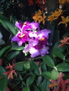 Cattleya trianae - Orchid