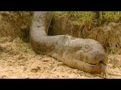 Giant Snake On Earth - World's Largest Biggest Snake Was Found Dead 2015...