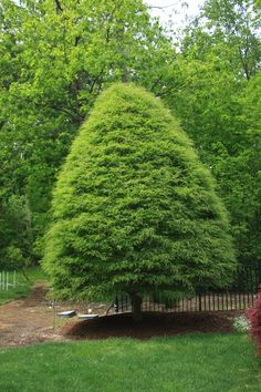 Fagus sylvatica var. heterophylla 'Asplenifolia' Fern Leafed Beech