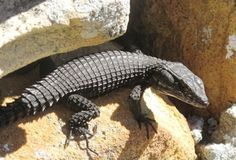 Black Girdled Lizard, Cape of Good Hope