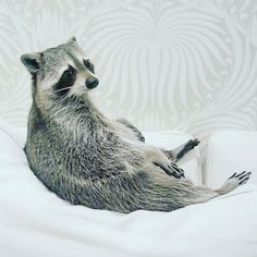 """41.4k Likes, 327 Comments - Pumpkin The Raccoon (@pumpkintheraccoon) on Instagram: """"🎃""""Oreo, please fetch me my morning tea....thank you, always such a doll"""" ☕️ Congrats to @itsiie for…"""""""