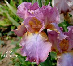 TB Iris germanica 'May Delight' (Schreiner, 1966)