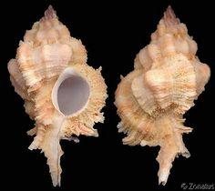 Chicomurex venustulus