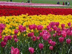 Skagit Valley, Washington   Tulip fields