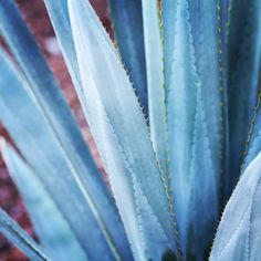 {agave azul} Geninne Zlatkis Agaves, Agave Azul, Agave Plant, Watercolor Projects, Belleza Natural, Mexico Travel, Tequila, Succulents, Colours