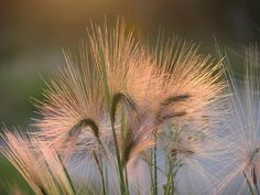 Barley - photograph by Sharon Duguay sharon-duguay.artistwebsites.com #barley #naturephotography