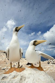 Masked Boobys