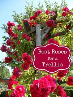Best Roses to Use in an Archway or Trellis ~ Adding a trellis or archway to your. - Best Roses to Use in an Archway or Trellis ~ Adding a trellis or archway to your garden adds height - Rose Varieties, Planting Roses, Flowers Garden, Fruit Garden, Growing Roses, Garden Trellis, Diy Trellis, Garden Arbor, Beautiful Roses