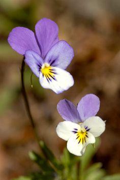 Keto-orvokki -Viola tricolor- Field pansy.
