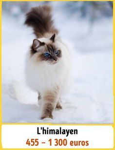 19Chats incroyables qui coûtent une fortune Laperm, American Curl, Serval, Scottish Fold, Rare Cats, Cats And Kittens, Maine Coon, Curl Americano, Le Savannah