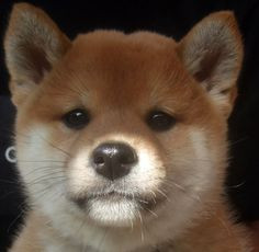 shiba ! Japanese Dogs, Japanese Dog Breeds, Baby Puppies, Cute Puppies, Cute Baby Animals, Animals And Pets, Akita, Hachiko, Cute Dogs Breeds