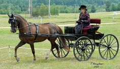 Cut-under Runabout Carriage. Horses and carriages like this will be driven at the Amesbury Carriage Festival.