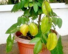 tanaman buah dalam pot belimbing