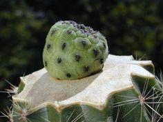 Sulcorebutia rauschii della famiglia delle Cactacee