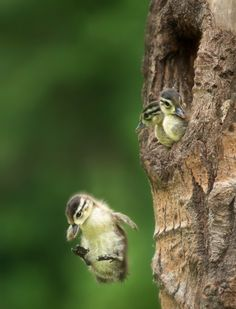 Wood ducks often nest in lofty tree cavities. Upon hatching, ducklings follow their mother out of the nest, sometimes jumping from a height of over 50 feet without injury. by Stan Teklela