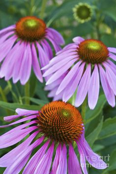 ✯ Purple Coneflower ...One of my Favorites